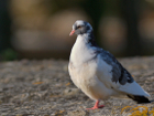 Pigeon ramier au couleurs inhabituelles (2/5)