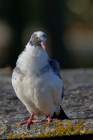 Pigeon ramier au couleurs inhabituelles (3/5)