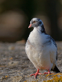 Pigeon ramier au couleurs inhabituelles (5/5)